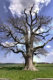 Old oak tree. Old oak in the spring Royalty Free Stock Photos