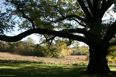 Old Oak Tree. Being shadowed in the early morning sun by a  very large oak tree Stock Photos