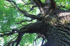 Free Old Oak Tree Royalty Free Stock Photography - 62406437