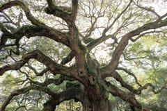 Old oak tree Angel Oak South Carolina. Photograph of the 300 year old Angel oak tree in South Carolina. Huge amazing branching stock image