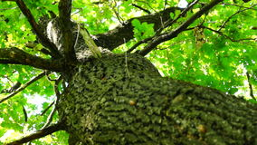 Old oak tree in august with breeze. An oak is a tree or shrub in the genus Quercus of the beech family, Fagaceae. The leaves and acorns of the oak tree are stock video