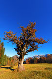 Old Oak Tree in Autumn Stock Images