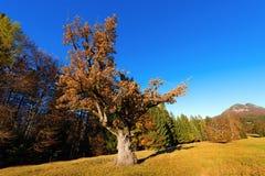 Old Oak Tree in Autumn Stock Photography