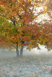 Old oak tree in the autumn mist Royalty Free Stock Images