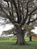 Old oak tree in autumn in a park at Ripley, North Yorkshire, England Royalty Free Stock Image