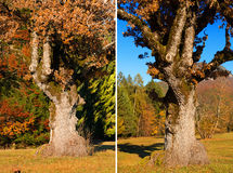 Old Oak Tree in Autumn. Set of two photos with detail of a large and old oak tree in autumn on a meadow with pines on the background Royalty Free Stock Photo