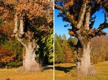 Old Oak Tree in Autumn Royalty Free Stock Photo