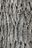 Old oak tree bark structure Royalty Free Stock Photos