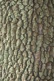 Old oak tree bark texture background. Closeup Stock Photo