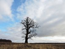 Old oak tree and beautiful cloudy sky, Lithuania Royalty Free Stock Image