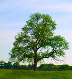 Old Oak Tree in Beautiful Green Field Royalty Free Stock Photography
