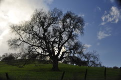 The Old Oak Tree. This beautiful old oak tree rests on a hill near the Old Borges Ranch in Walnut Creek, Ca. With the sun obscured by clouds, the back-lighting Royalty Free Stock Image