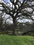 Old oak tree. Big old oak tree Royalty Free Stock Photo