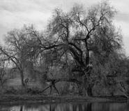 Old Oak Tree. Black and white of old, gnarly oak tree standing in field by a pond Stock Photography