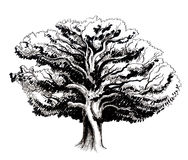 Old oak tree. Black and white ink sketch of an old oak tree Royalty Free Stock Photo