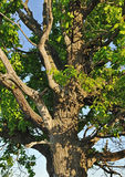 Old oak tree branches in spring stock image