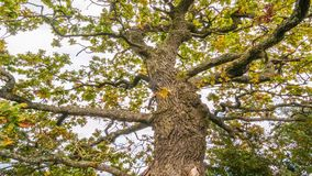 Old Oak tree branches stock video footage