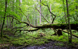 Old oak tree broken lying in spring forest Royalty Free Stock Photo