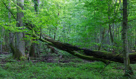 Old oak tree broken lying in spring forest Royalty Free Stock Photos