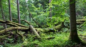 Old oak tree broken lying in spring forest Stock Image