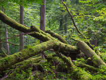 Old oak tree broken lying in summertime forest Royalty Free Stock Photography