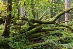 Old oak tree broken lying in summertime forest Stock Image