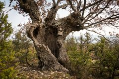 An old oak tree with cavities and holes in Croatia. Island Cres on a cloudy day in spring stock images