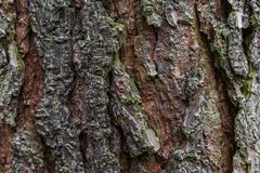 Old Oak Tree Close UP stock photography