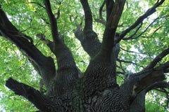 Old oak tree Royalty Free Stock Photo