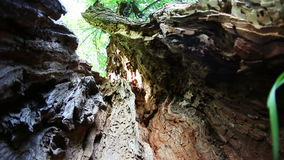 Old oak tree. Old and decayed oak tree stock video footage