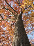 Old oak tree in the fall 1. Old oak tree in the fall with bright blue sky Royalty Free Stock Photos