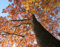 Old oak tree in the fall. With bright blue sky Royalty Free Stock Photo