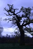 Old Oak Tree during Fall. Old oak tree seen in front of blue and white sky, fall season Stock Photos
