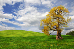 Old oak tree in the field Royalty Free Stock Photo