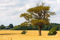 Old oak tree in field Stock Photos