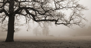 Old oak tree, foggy conditions. One branch parallel to the horizon, forming a natural frame Stock Image