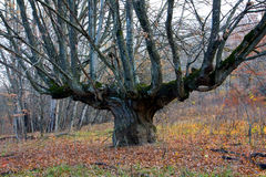 Old oak tree on forest Royalty Free Stock Photography