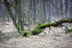 Old oak tree in forest Stock Images