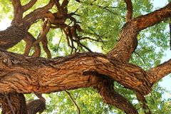 Old oak tree in Fredericksburg, Texas Royalty Free Stock Images