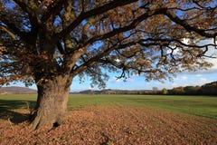 Old oak tree in golden autumn Royalty Free Stock Photos