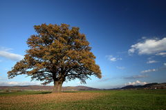 Old oak tree in golden autumn Royalty Free Stock Image