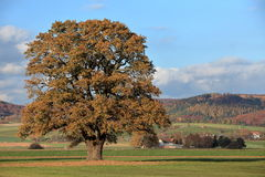 Old oak tree in golden autumn Stock Images