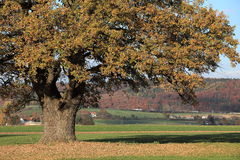 Old oak tree in golden autumn Royalty Free Stock Images