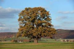 Old oak tree in golden autumn Stock Image