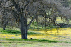 Old Oak Tree and Goldfields. An ancient oak tree is surrounded by a field of yellow wildflowers and fresh spring grasses Stock Photos