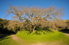 Old oak tree in a grass field with hills Royalty Free Stock Photos