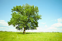Old oak tree on green meadows Stock Photography