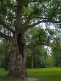 Old oak tree with hollow trunk in the Park. Stock Photo