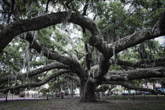 Old Oak Tree Royalty Free Stock Photos