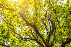 Free Old Oak Tree In Spring Green Royalty Free Stock Photos - 176957418